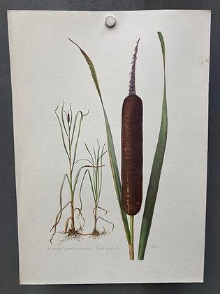 Planche Botanique Roseau - massette