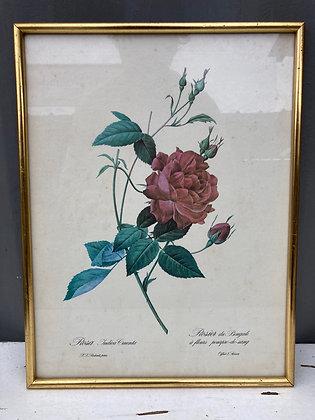 Cadre «rosier du Bengale à fleurs pourpres-de-sang»
