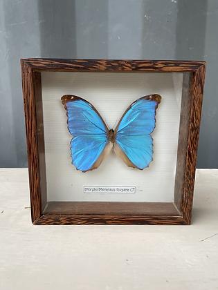Papillon bleu morpho melenaus Guyane