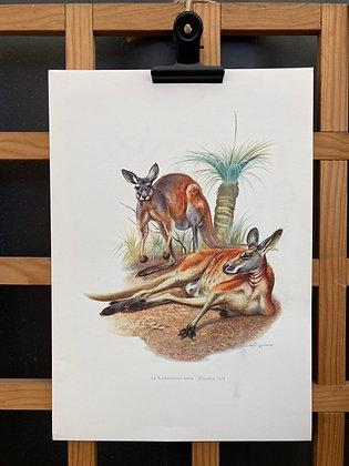 Planche d'histoire naturelle «kangourou roux»
