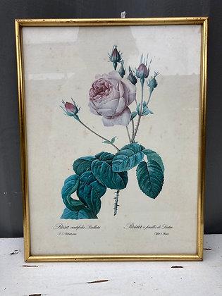 Cadre botanique P.J.Redouté «rosier à feuilles de laitue»