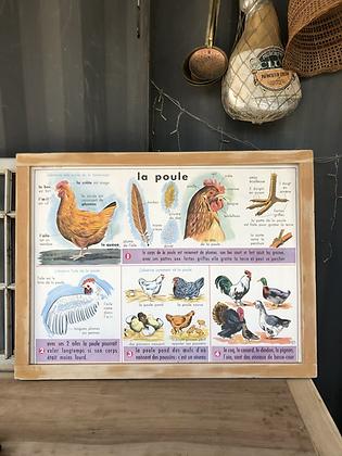 Affiche pédagogique La Poule