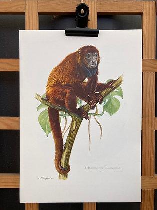 Planche d'histoire naturelle «singe hurleur rouge»