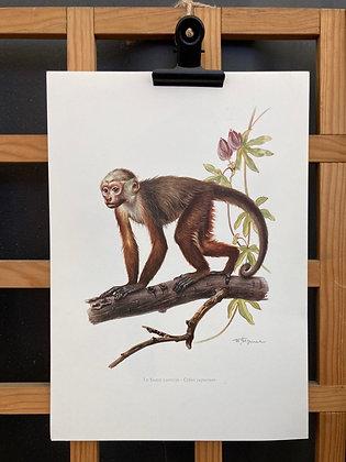 Planche d'histoire naturelle «singe capucin»
