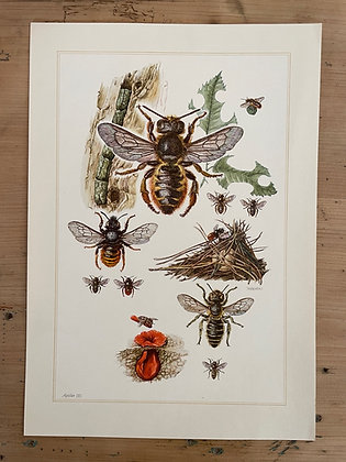 Ancienne planche d'histoire naturelle sur l'abeille