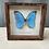 Thumbnail: Papillon bleu morpho melenaus Guyane