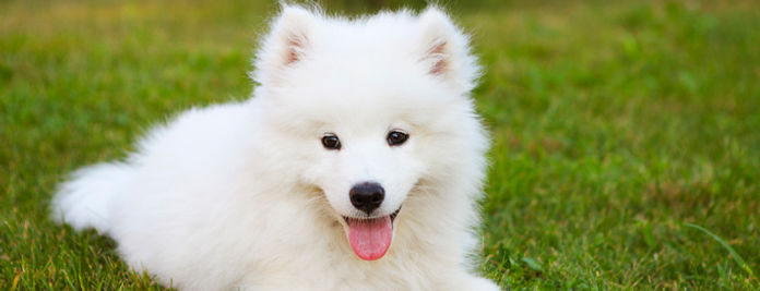 samoyed-dogs-puppies-1.jpg