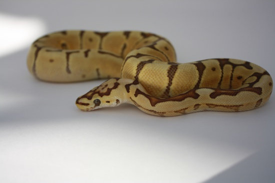 Spider Cryptic Double Het Ghost Caramel Albino