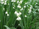 Snowflake flowering bulb.jpg