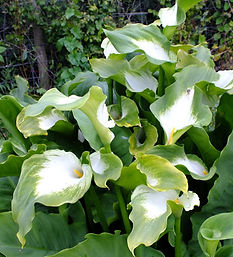 Zantedeschia-Green-Goddess.jpg