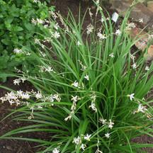 Chlorophytum_saundersii_500X500.jpg