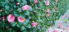 Camellia-Japonica.jpg
