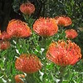 leucospermum-cordifolium.jpg