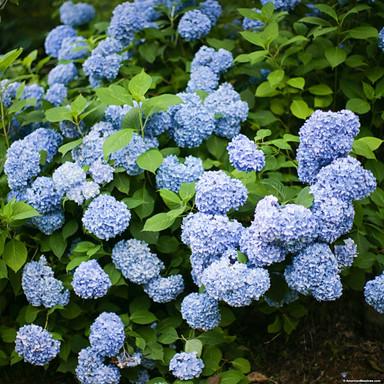 hydrangea-nikko-blue-shutterstock_800x80