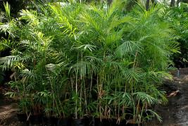 Chamaedorea-seifrizii-2.jpg