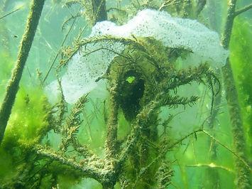 Plantes aquatiques lac de Paladru