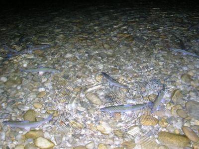 fish lac de Paladru