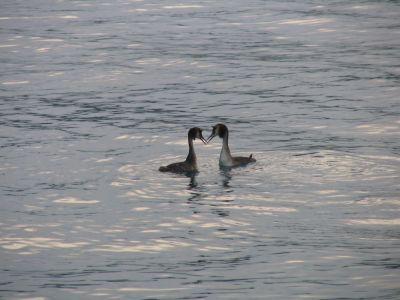 oiseaux aquatiques lac de Paladru