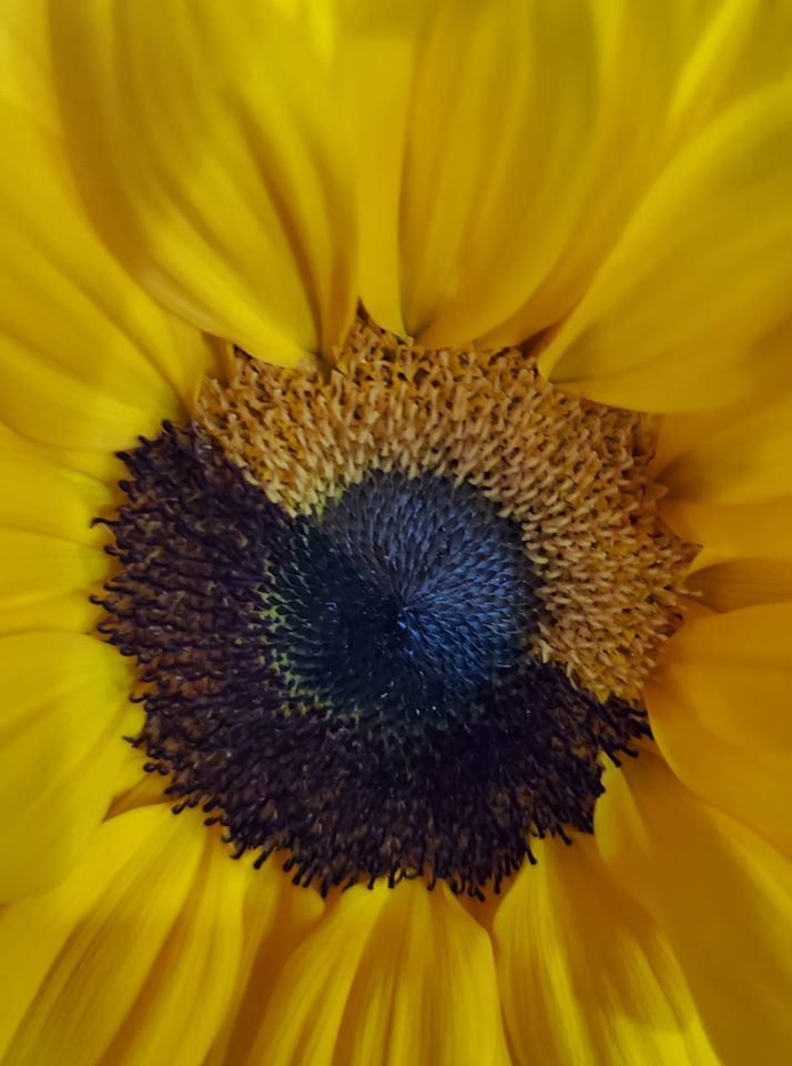 sunflower two tone