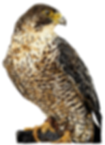 Peregrine falcon smaller.png