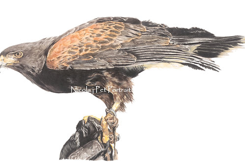 Harris Hawk    ORIGINAL