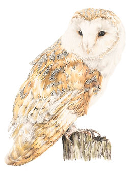 Barn_Owl_on_white jpeg 2.jpg