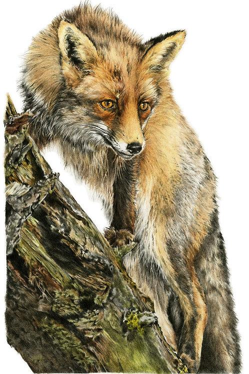 Fox eye view Card