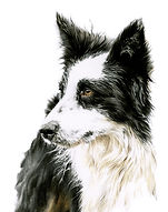 Border Collie to print.jpg