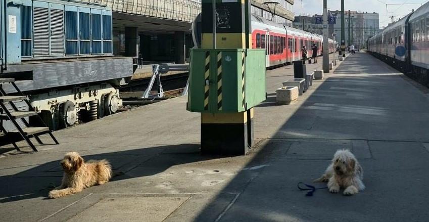 Egy vonatperonon két kutya fekszik és figyelnek