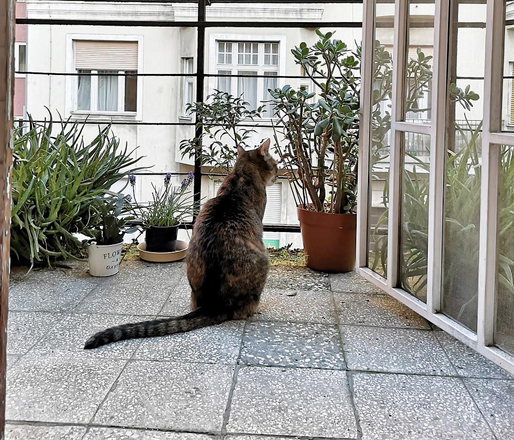 szürke cirmos macska ül háttal a kamerának egy emeleti erkélyen cserepes növények között