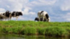 animal-black-and-white-cows-blue-skies-3