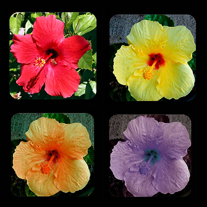Hibiscus Coaster Set of 4