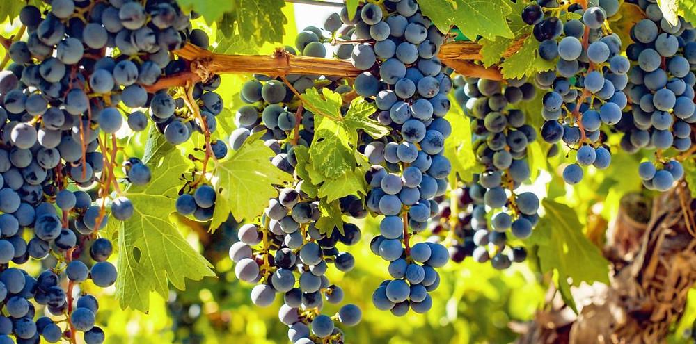 Finger Lakes Cabernet Franc Grape