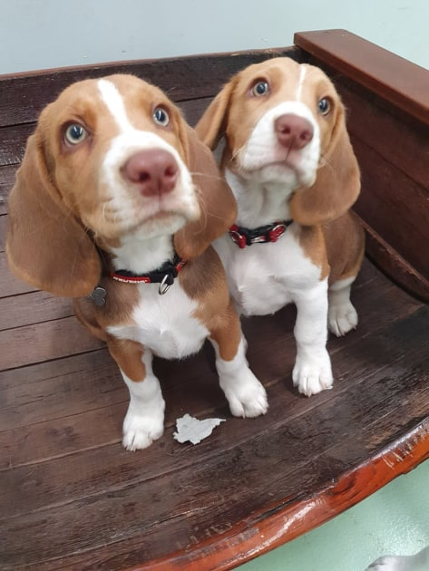 Full Length Barrel Beagles