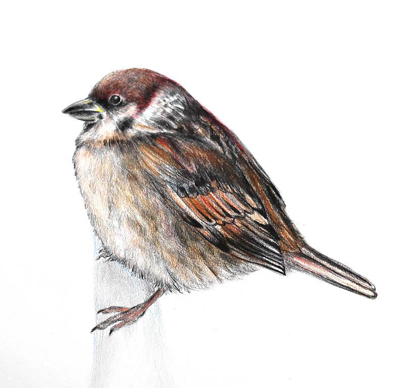 Vrabac-Sparrow illustration Nada Orlic