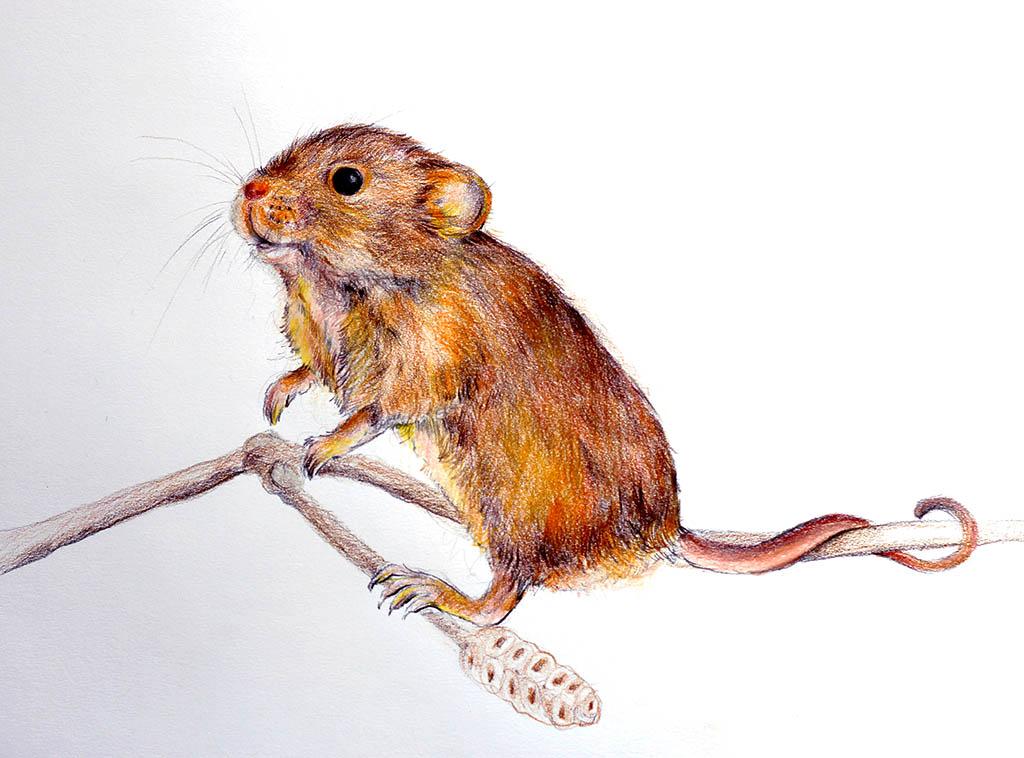Mouse illustration Nada Orlic