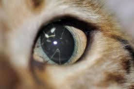 memebrana pupilar persistente
