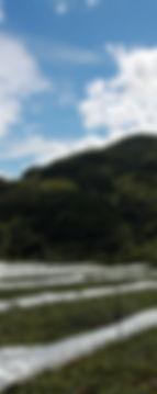 内子町観光農園 ブドウ園地 山
