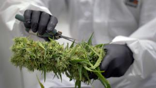 Trimming a Cannabis plant.jpg