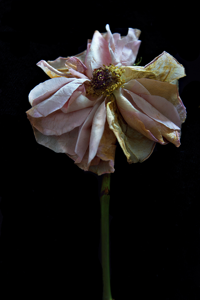 Beauty in Decay: Rose in Splendor