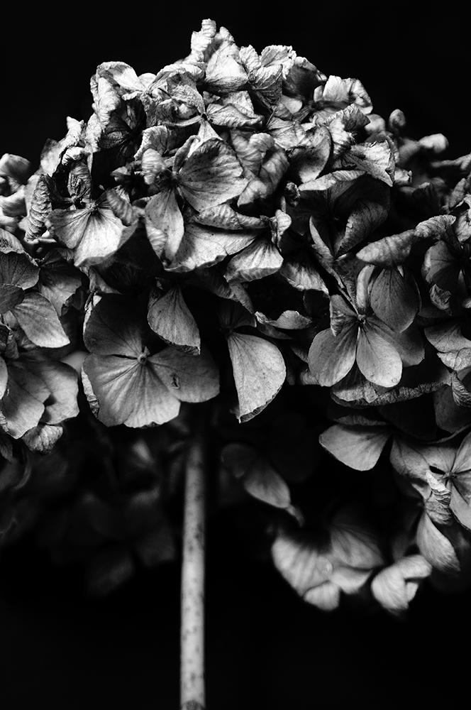 The Spoils of Winter - Hydranea
