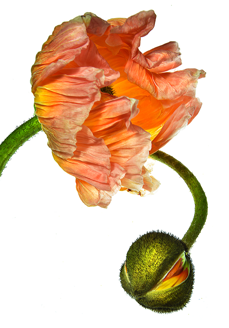 Poppy Flower & Bud