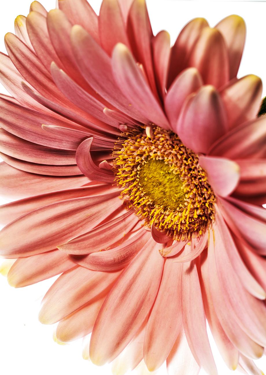 Pink Daisy Bella Donna