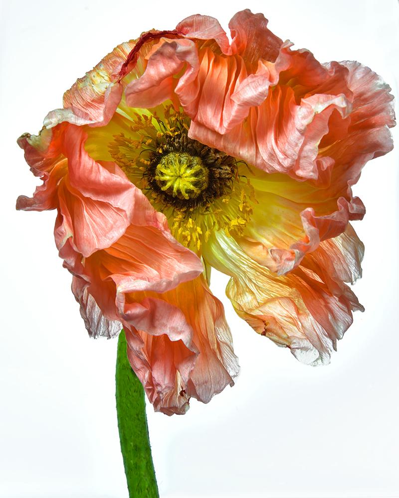 Poppy: Grande Dame