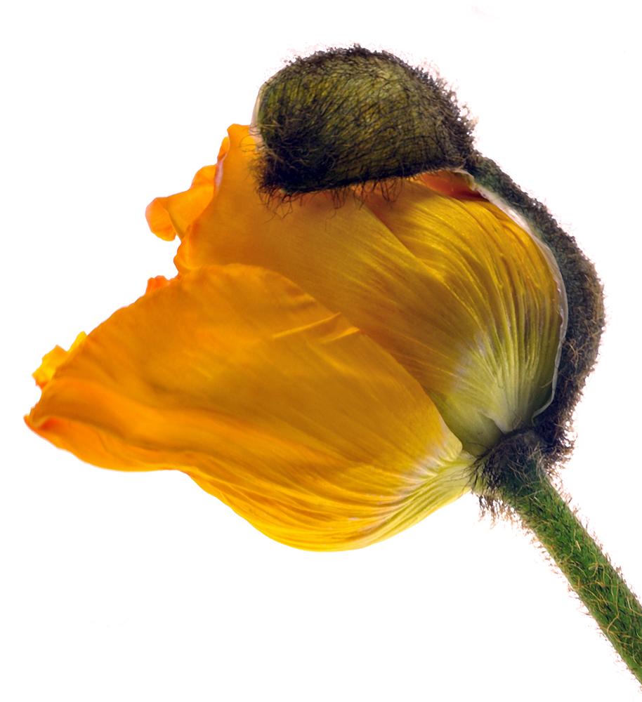 Poppy: Flower and Shell