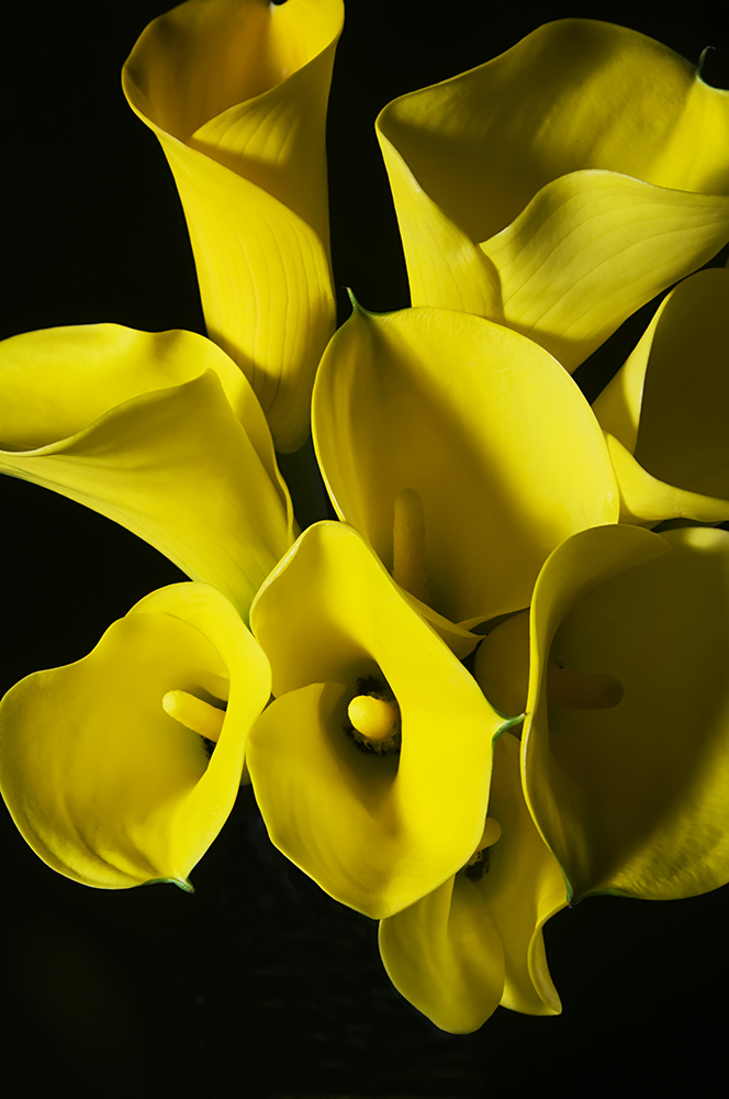 Calla Lilies Golden II