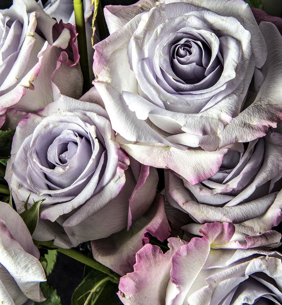 Convent Roses