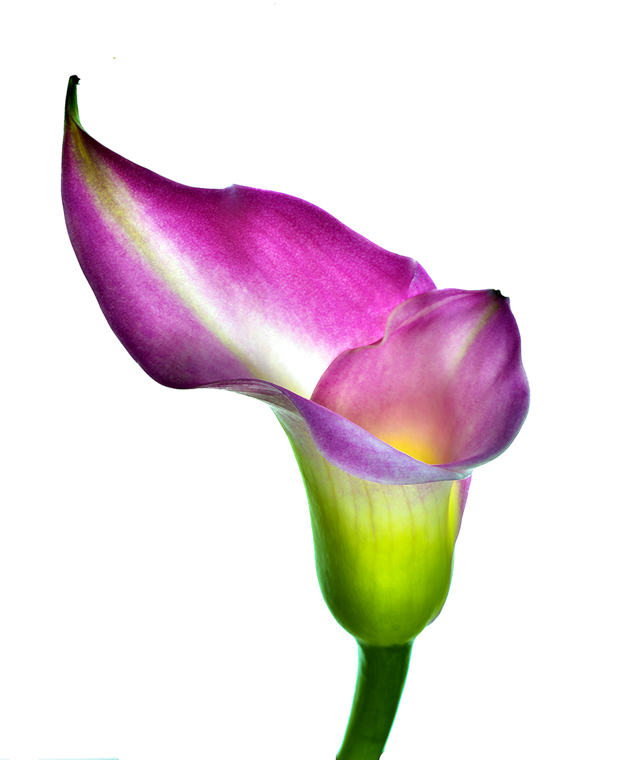 Calla Lilly: Purple Elixir