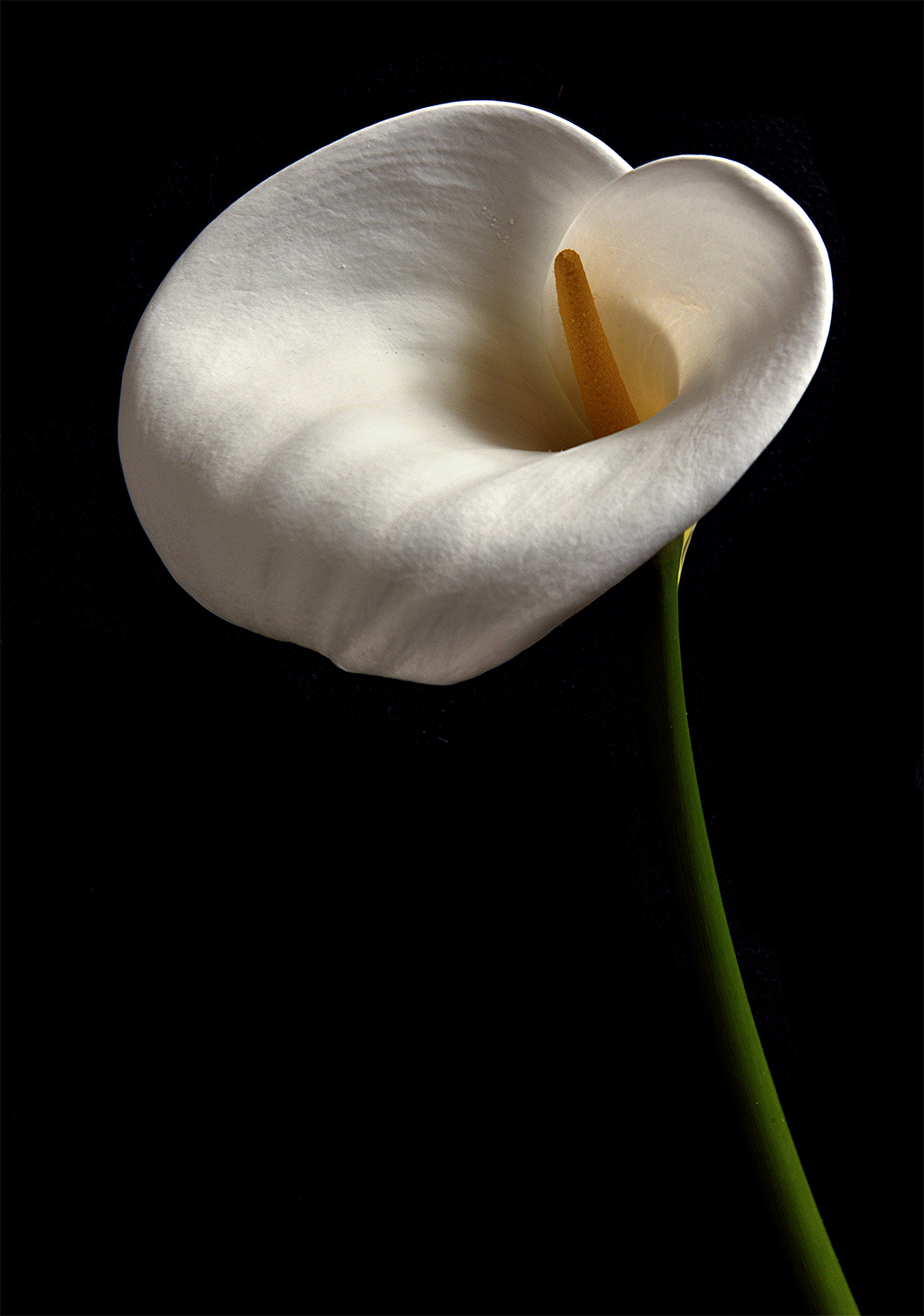 Calla Lilly: Daylight in Darkness