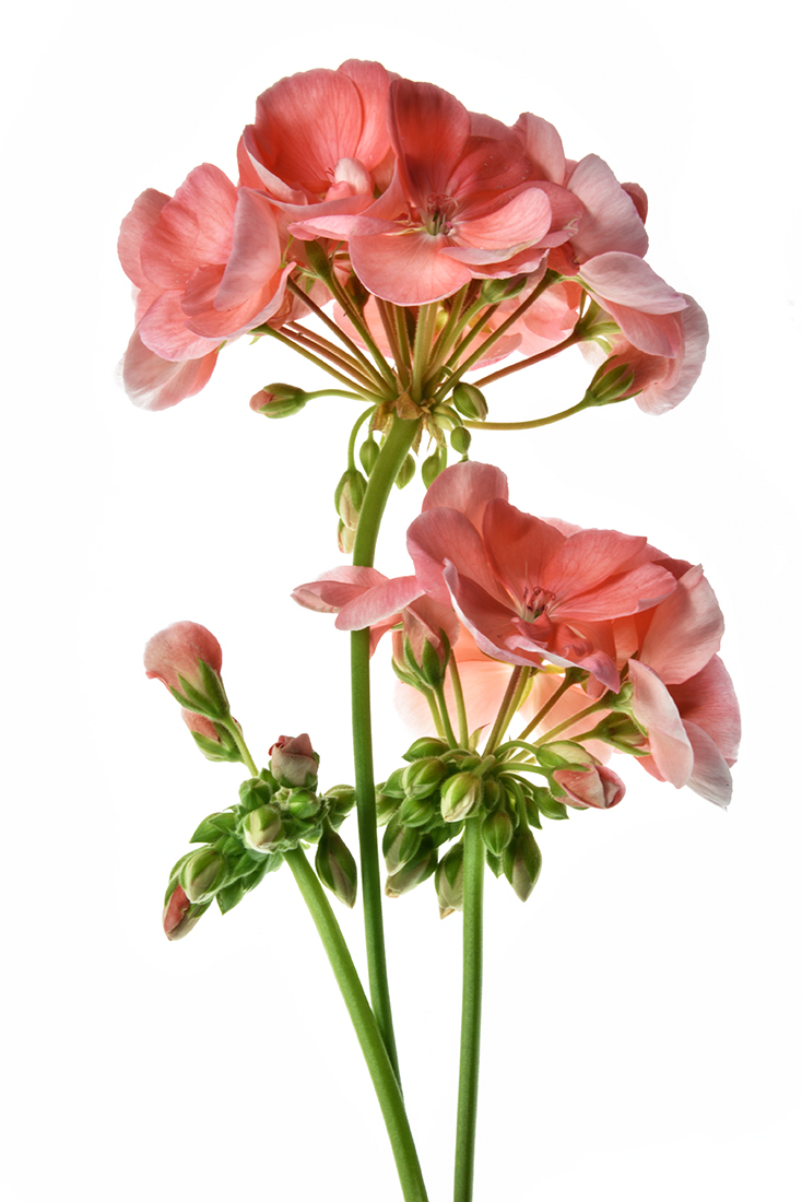 Geranium: Spring's Glory